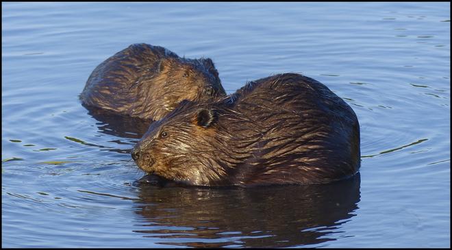 More beavers, Elliot Lake.