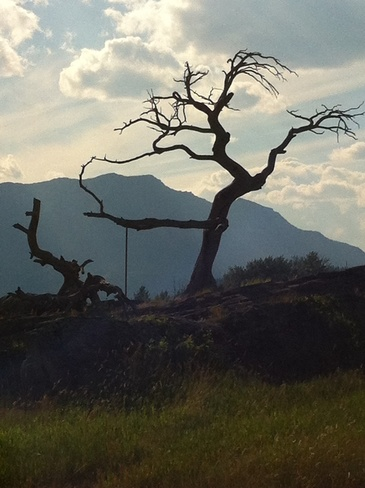 burmis tree Lethbridge, Alberta Canada