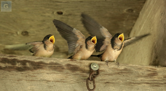 hungry swallows Oak Hammock Marsh Interpretive Centre, Stonewall, MB