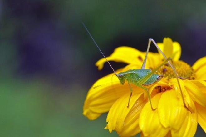 Grasshopper... Erin, ON