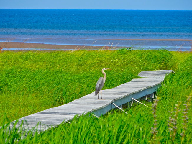 Blue Heron using beach boardwalk Shediac, NB