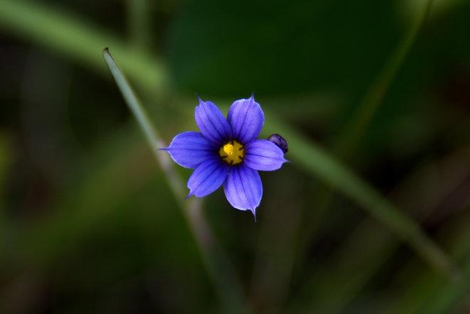 Sisyrinchium (Blue-eyed Grasses) Port Joli, NS