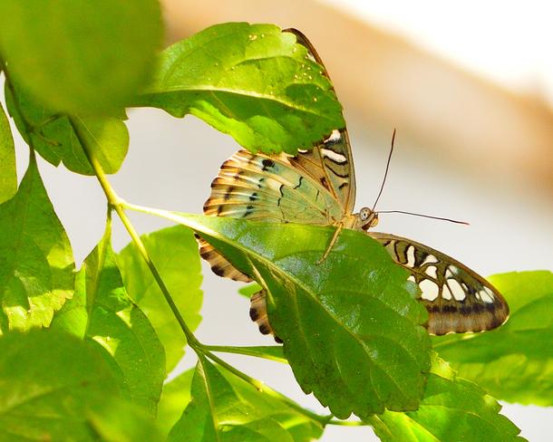 Butterflies Cambridge Ontario