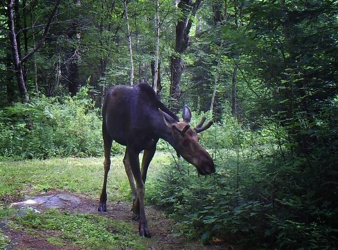 Young bull moose Magnetawan, ON