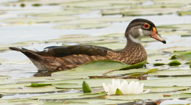Female wood duck Laval, QC