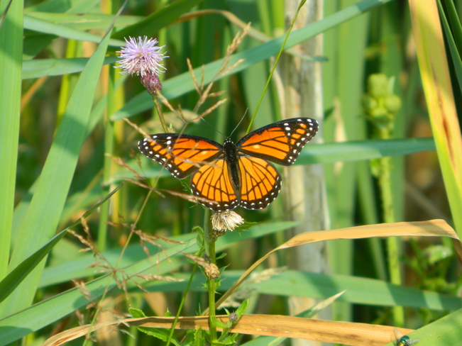 Butterfly Bradford West Gwillimbury, Ontario Canada