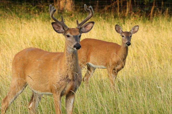 Buck & Doe Kingston, Ontario Canada