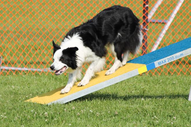 Dog Agility in Lake Ontario Park Kingston, ON