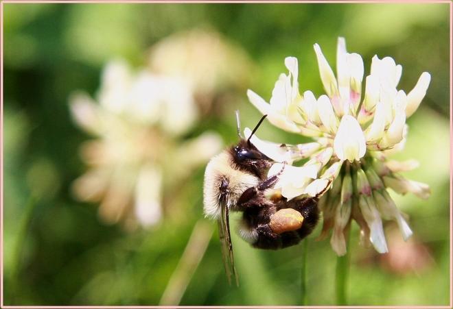 My Backyard Bee Pierrefonds, Quebec, Montreal, QC