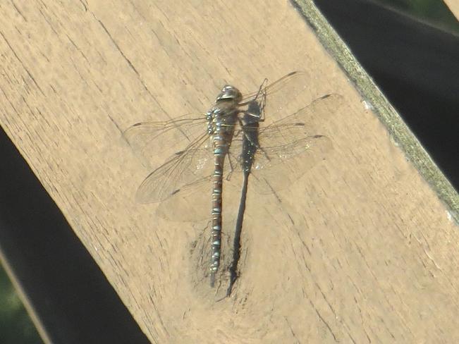 Dragonfly Sherwood Park, AB
