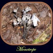 MONOTROPE