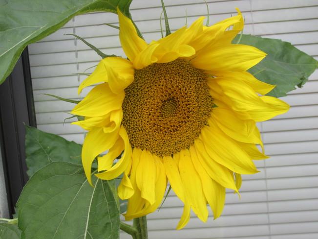 Sally Sunflower Surrey, BC