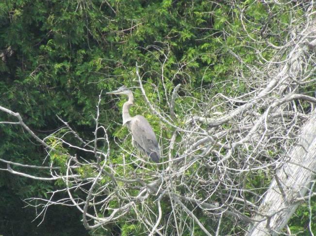 Great Blue Heron Lake Utopia, Saint George, NB