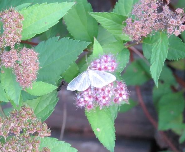 Delicate moth Raymond, AB