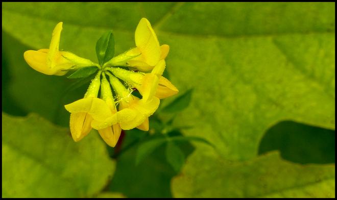 Yellow wild flower, Elliot Lake.