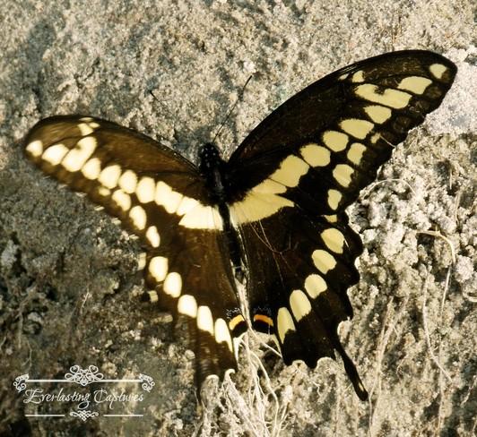 swallow tail butterfly Belleville, ON