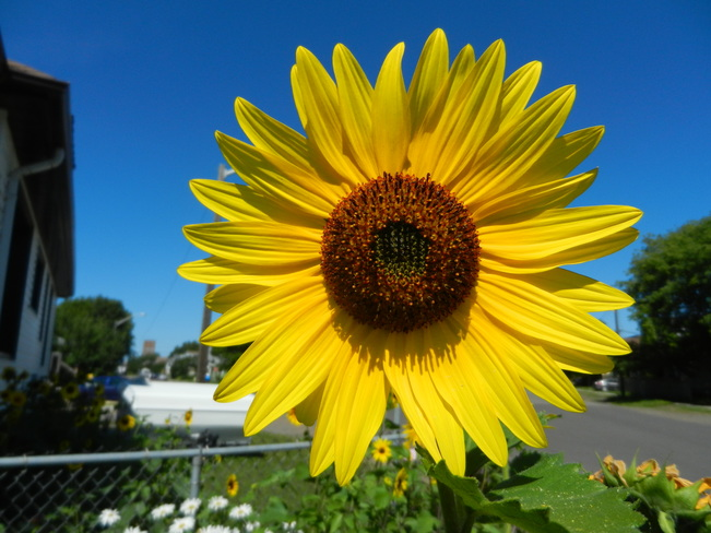 sunfloiwer time Thunder Bay, ON