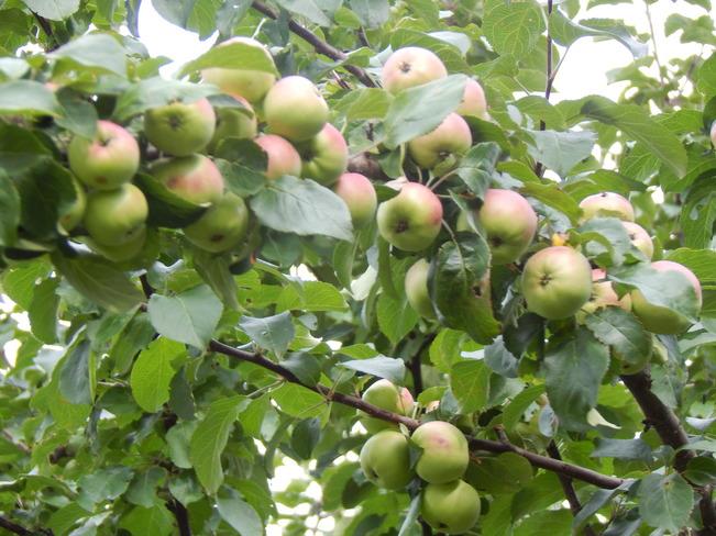 Trees close up Maltais, NB