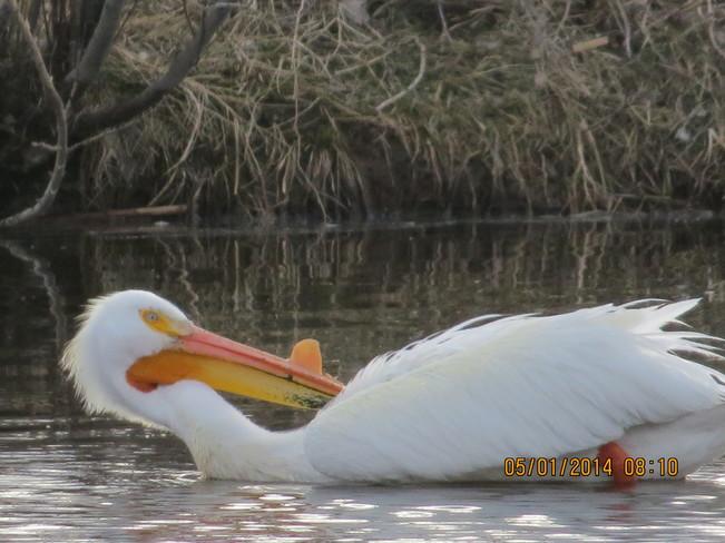 love pelicans! Lethbridge, AB