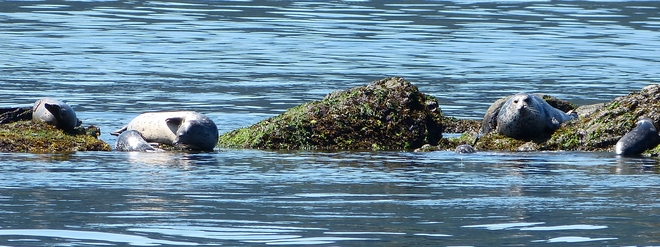 seals Sunshine Coast, BC