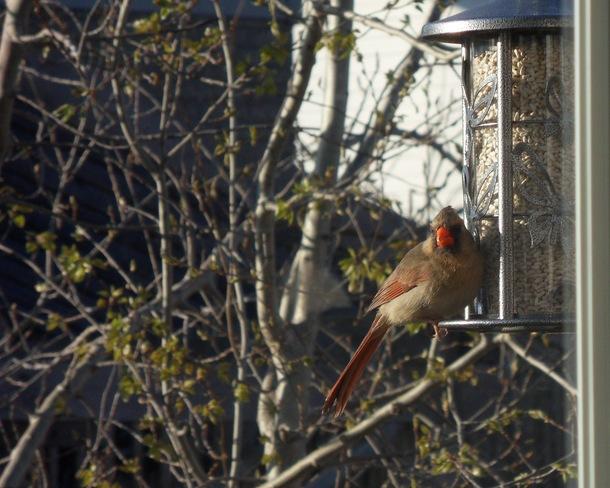 Female Cardinal Guelph, ON