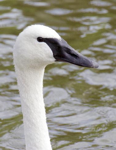 Trumpeter Swan... Pickering, ON