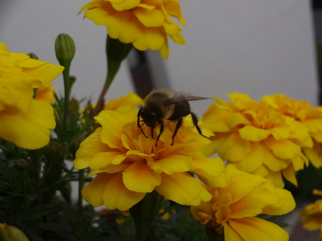 Bumble Bees Spreading Life After The Rain Saint-Lambert, QC