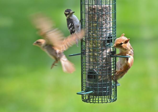 Sparrow, Woodpecker & Chipmunk Oakville, ON
