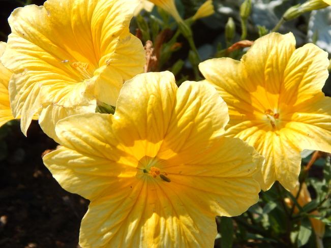 Golden Yellow Dalhousie, NB