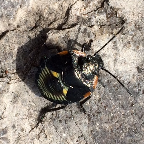 Green stink bug nymph Ottawa, Ontario Canada