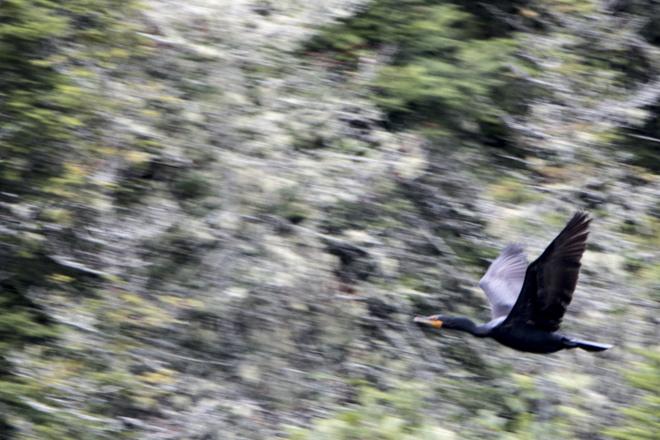 Cormorant Sturgeon Falls, West Nipissing, ON