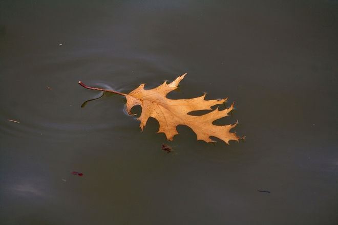 Drifting Oak leaf... Scarborough, Toronto, ON