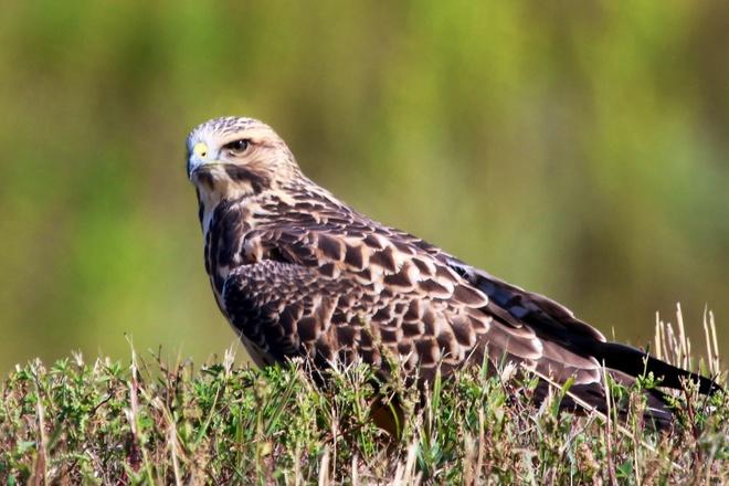 The baby hawk has grown up... Saskatoon, SK