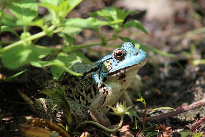 Blue Frog Ottawa, ON
