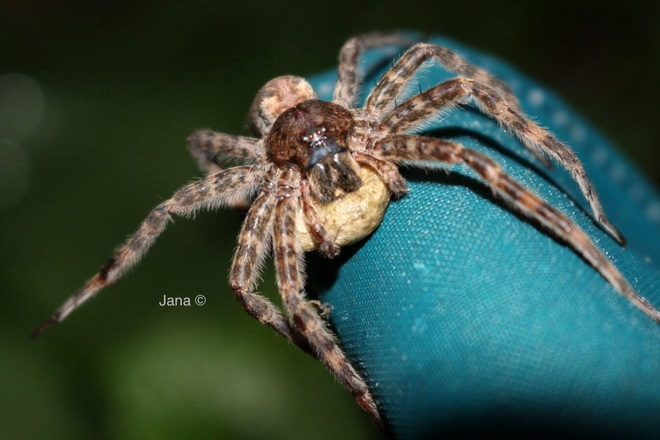 Nursery Web spider Amherstburg, Ontario Canada
