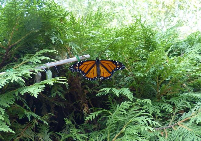 Monarch Butterfly Saint Vital, Winnipeg, MB