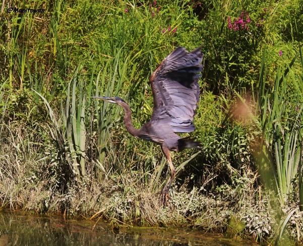 Great Blue Heron At Wetlands vancouver, bc