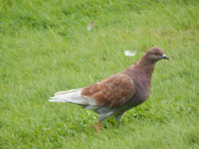 Pigeons Atholville, NB