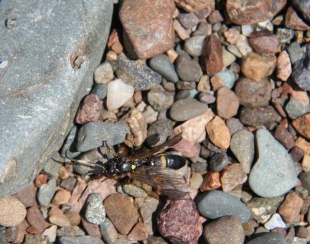 POTTER WASP Beulah, NB