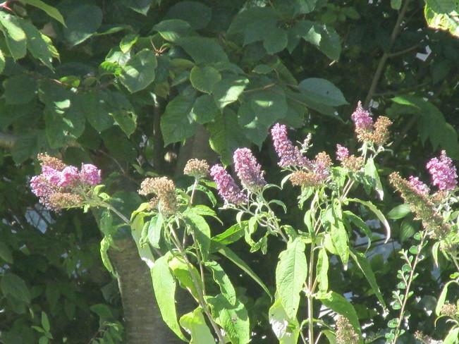 butterfly bush Surrey, BC