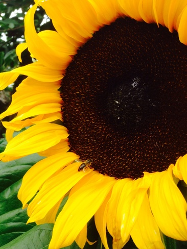 wasp meet sun flower!! Leduc, Alberta Canada