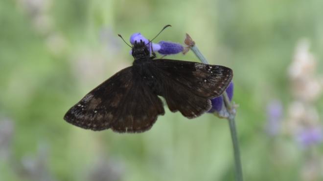 ? Wild Indigo Duskywing Butterfly. St. Catharines, ON