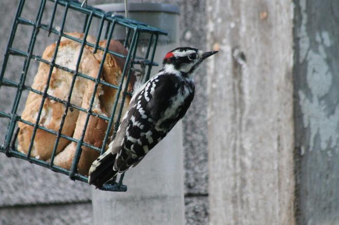 Small woodpecker Aylmer, ON