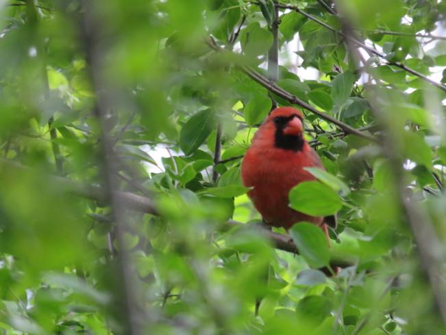 Mr. Cardinal Aurora, ON