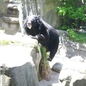 Bel ours noir.
