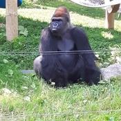 Ce gorille attend son repas.