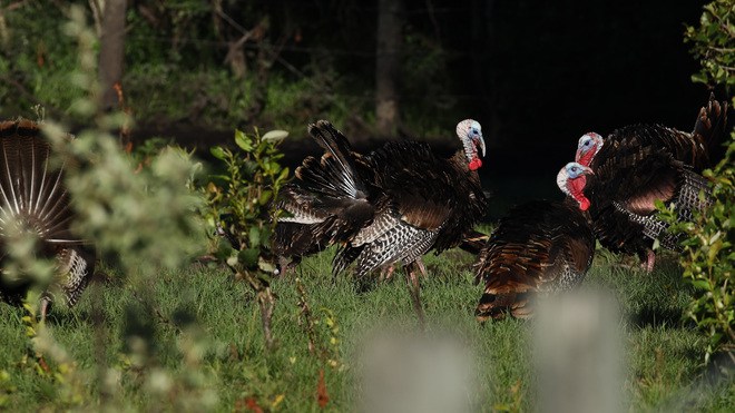 Wild Turkeys Rivers Manitoba