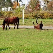 Cheval se roule dans l' herbe.