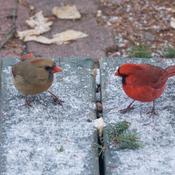 Couple de cardinal rouge