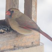Femelle du cardinal rouge